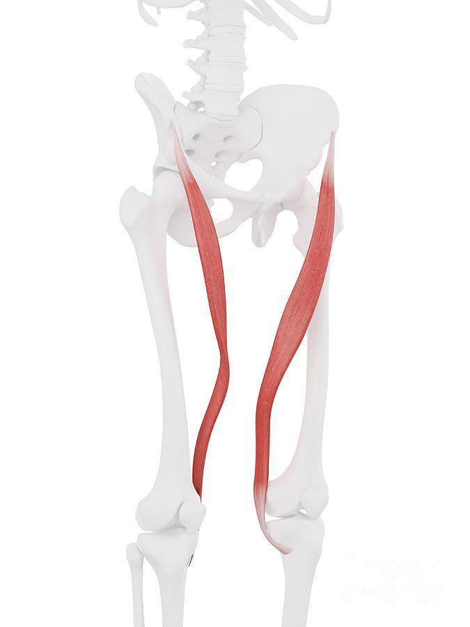 3d Photograph - Sartorius Muscle by Sebastian Kaulitzki/science Photo Library