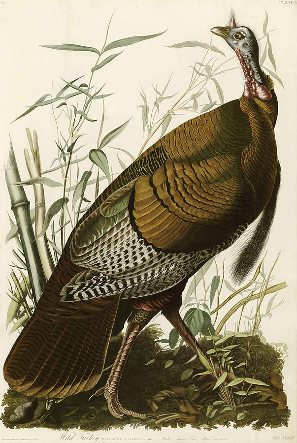 John James Audubon Painting - Wild Turkey  by John James Audubon