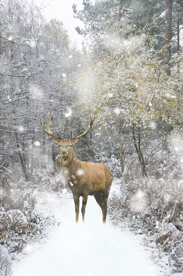Winter Photograph - Beautiful Red Deer Stag In Snow Covered Festive Season Winter Fo by Matthew Gibson