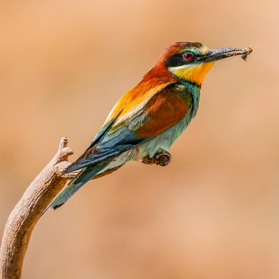Bee-eater Photograph by David Manusevich