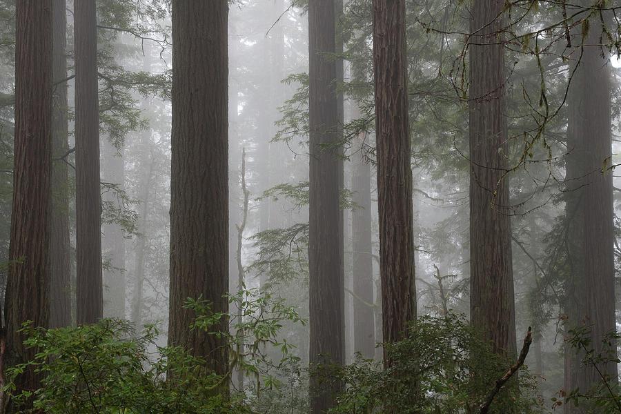 8 Fern Grove Fog N. California by Phyllis Spoor