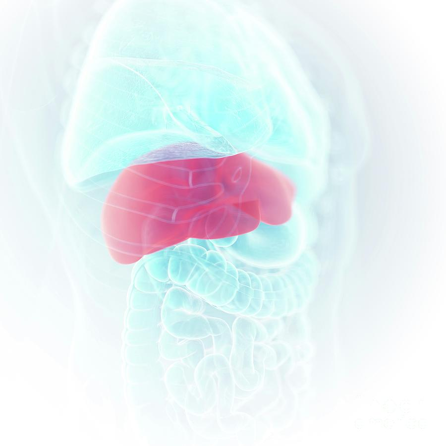 3d Photograph - Illustration Of The Liver by Sebastian Kaulitzki/science Photo Library