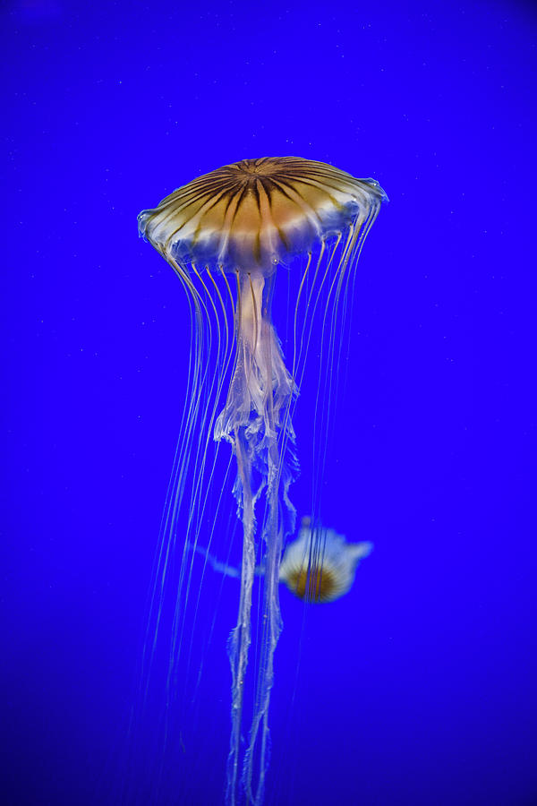 Japanese Jellyfish by Kenny Thomas