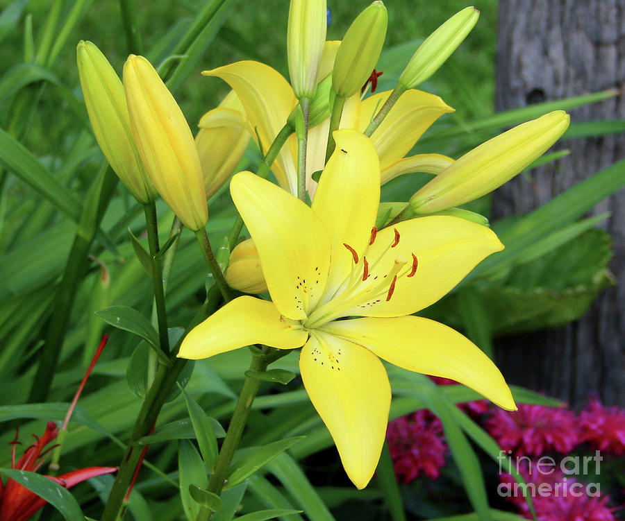 Flower Photograph - Lilly  by Lori Tordsen