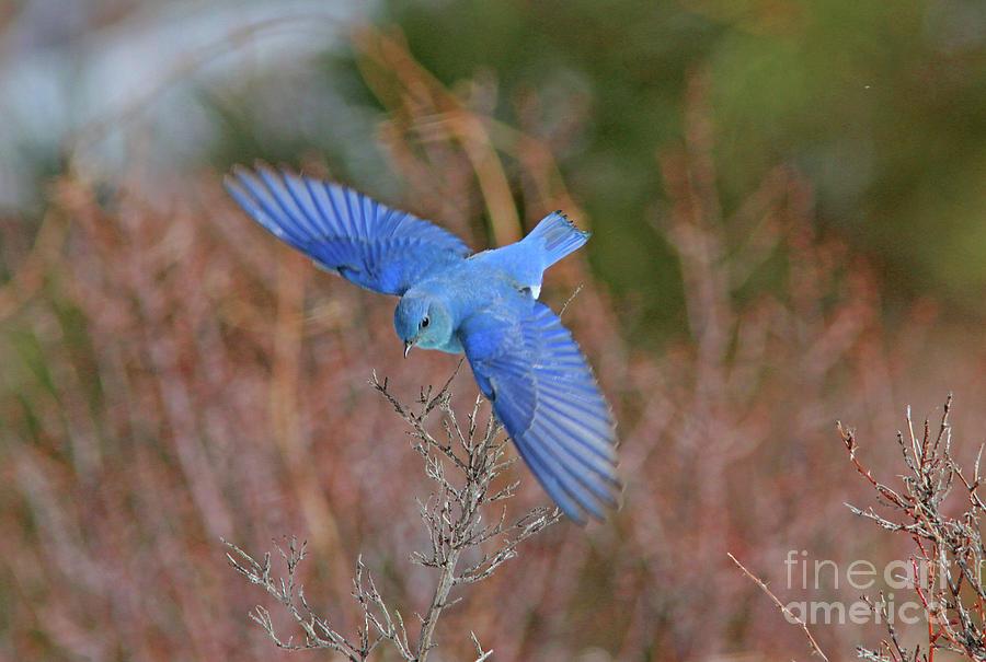 Mountain Bluebird Photograph - Mountain Bluebird by Gary Wing