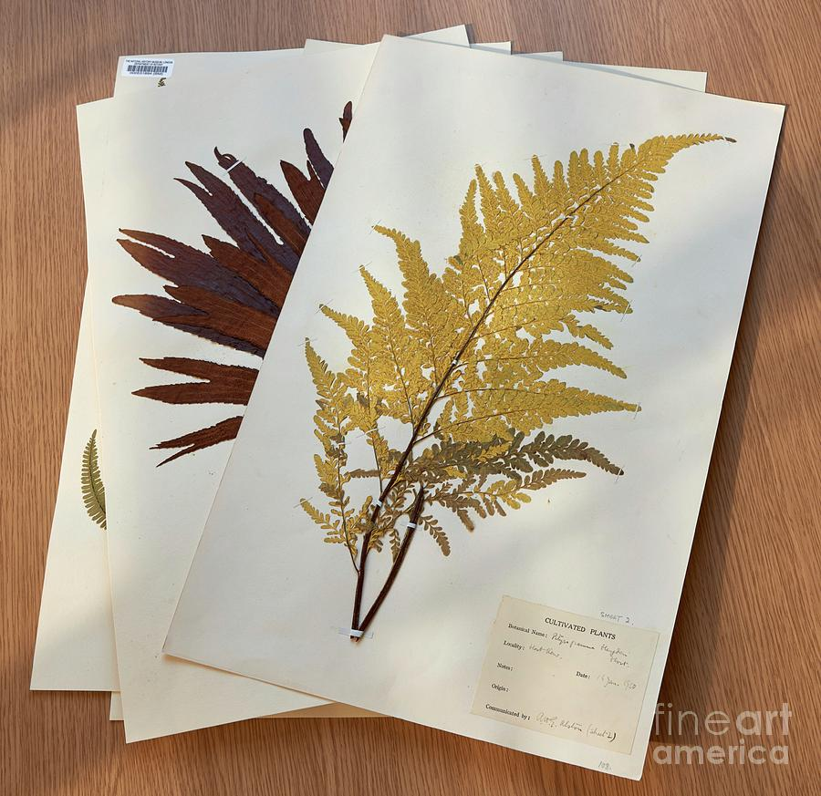 Monilophytes Photograph - Mounted Fern Specimens by Natural History Museum, London/science Photo Library