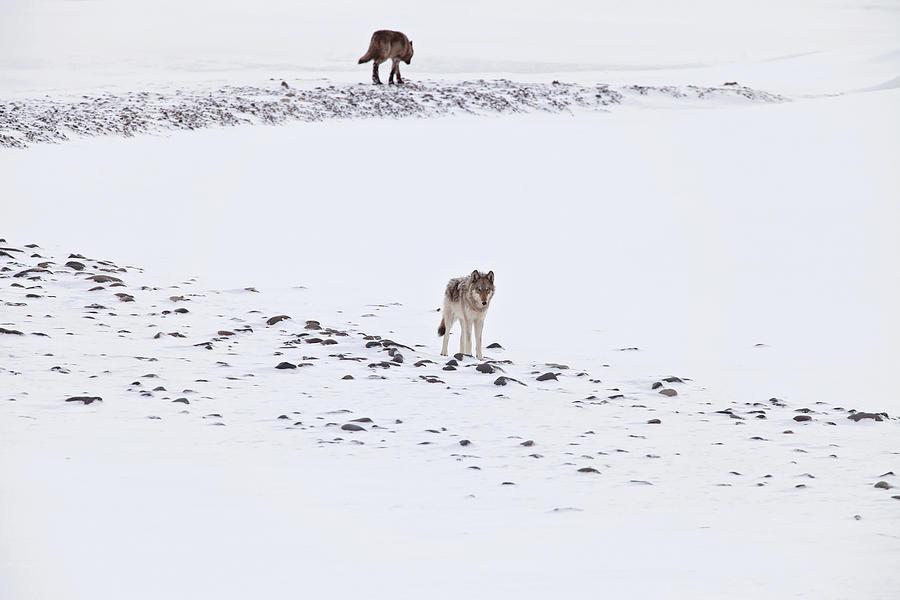 812 Lone Wolf by Eilish Palmer