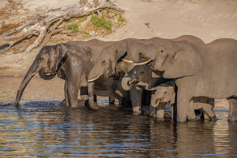 Adult Photograph - Africa, Botswana, Chobe National Park by Jaynes Gallery