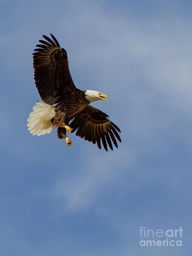 Eagle Photograph - Bald Eagle by Blair Howell