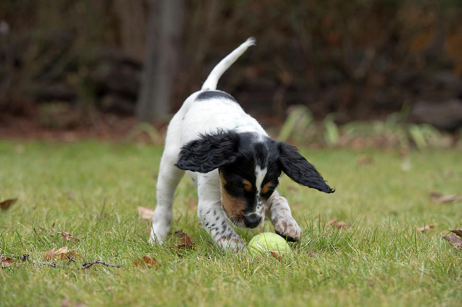 8 Weeks Photograph - English Setter Puppy, 8 Weeks by William Mullins