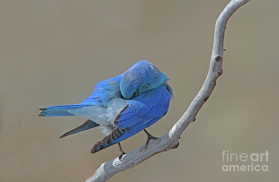 Mountain Bluebird Photograph - Mountain Bluebird by Gary Wing