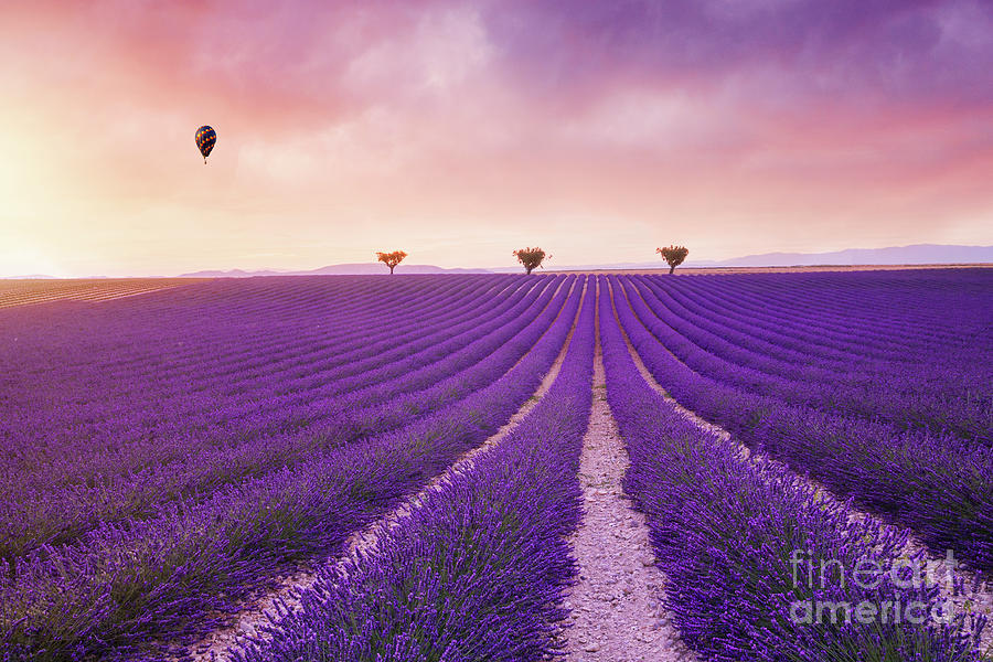 Violet Lavender Bushes Beautiful Colors Purple Lavender Fields Photograph By Roland Barat