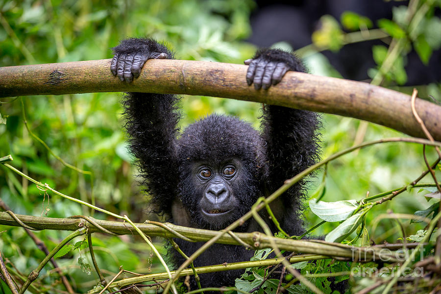Forest Photograph - A Baby Gorila Inside The Virunga by Lmspencer
