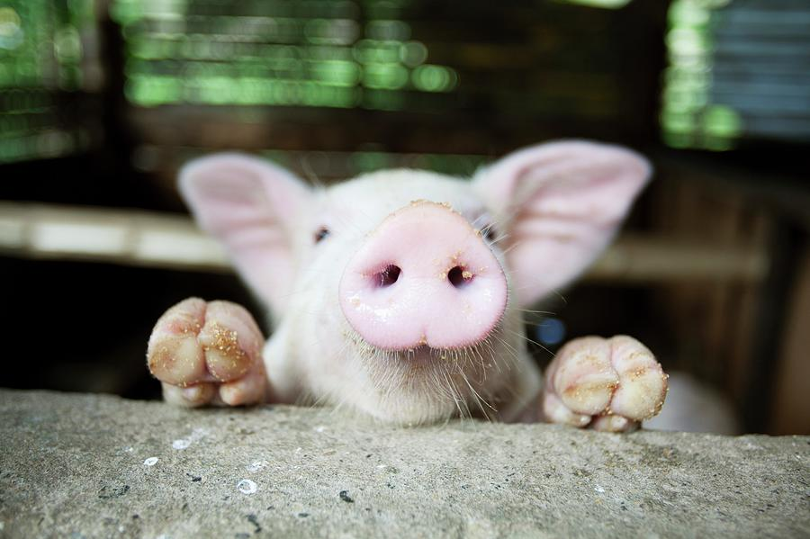 A Baby Pig In Its Pen Photograph by Design Pics / Deddeda