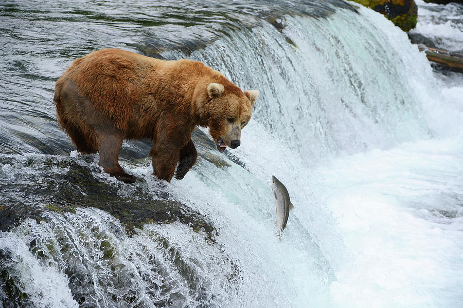 A Bear Hunting For Salmon Photograph by Piriya Photography