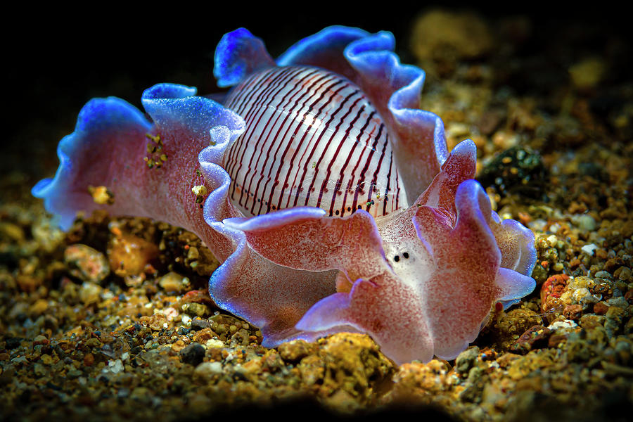Philippines Photograph - A Beautiful Bubble Shell Nudibranch by Bruce Shafer