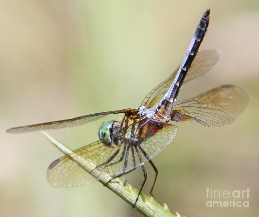 A Beautiful Dragon Fly Landed on my Pineapple Plant by Philip and Robbie Bracco