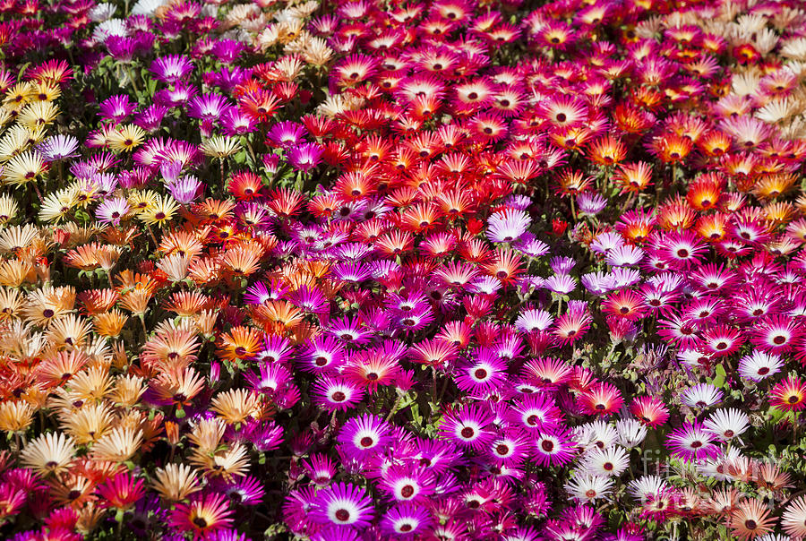 Bed Photograph - A Bed Of Livingstone Daisies In by Jason Benz Bennee
