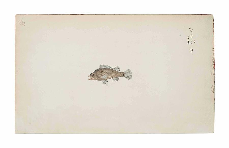 Fish Painting - A Bedda Fish Company School, India, Early 19th Century by Celestial Images