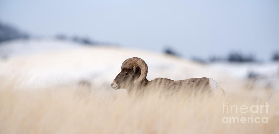 Big Photograph - A Big Horn Sheep Ram Walking by Lorraine Logan