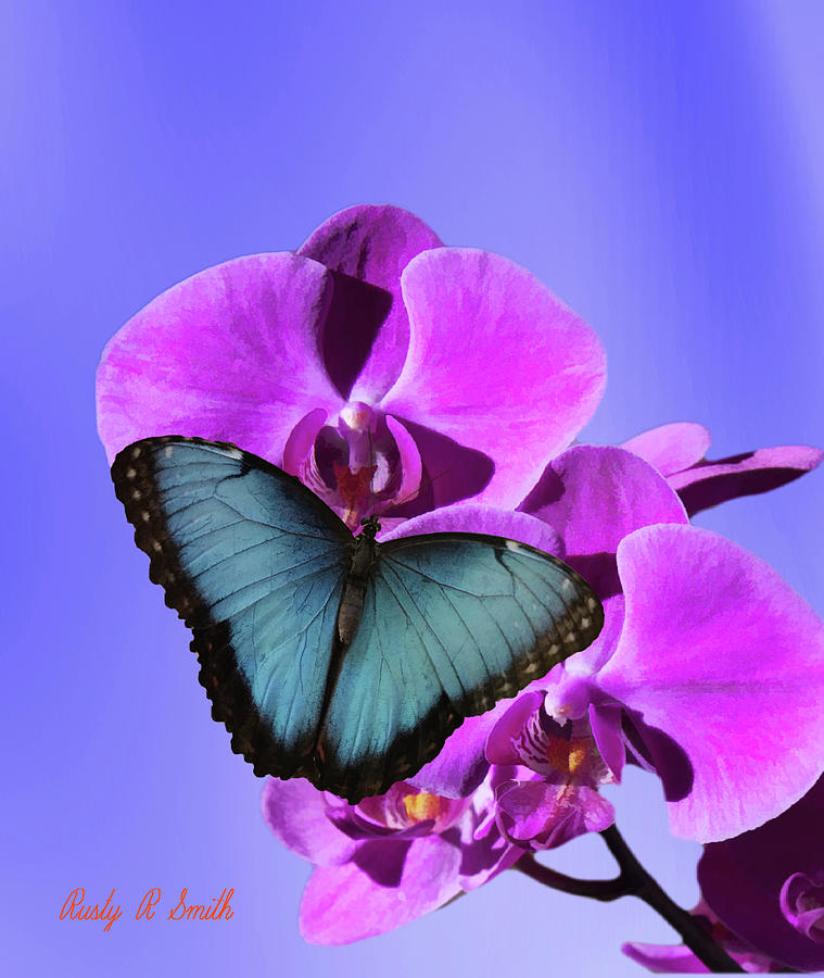 A Blue Morpho Butterfly on pink orchid. by Rusty R Smith