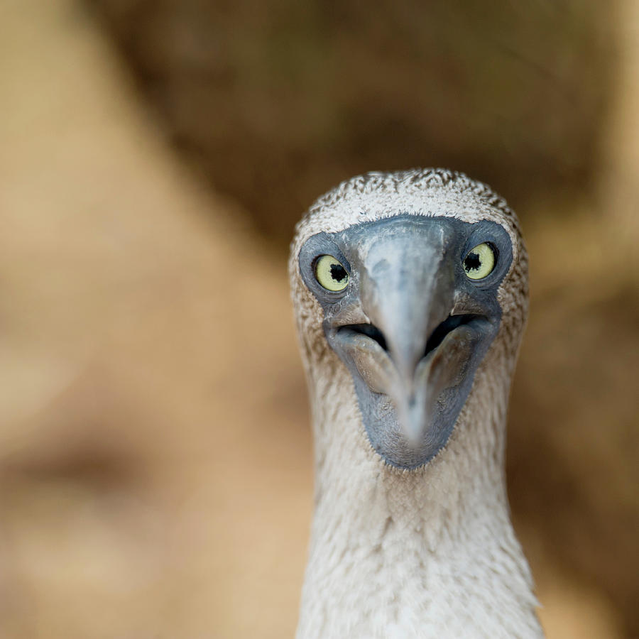 A Blue-footed Booby Staring Photograph by Keith Levit / Design Pics