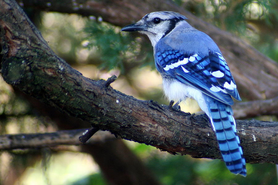 A Blue Jay Sports Distinctive Coloring by Laurel Talabere