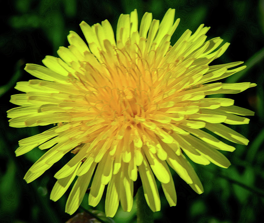 A Blushing Dandelion by Tikvah's Hope