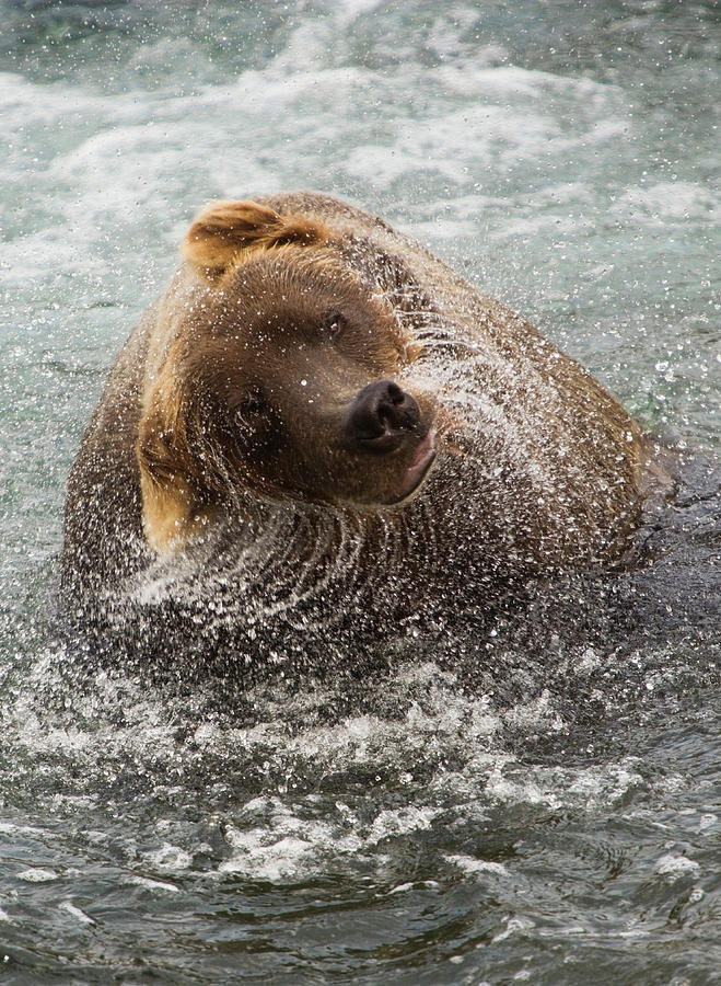 A Brown Bear Shakes Off Excess Water Photograph by Mint Images - Art Wolfe
