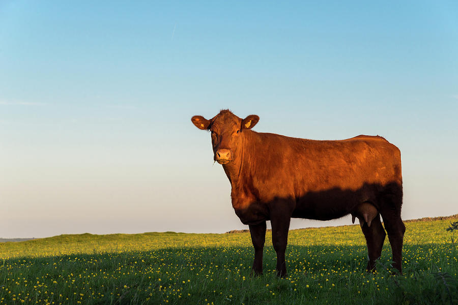 A Brown Cow On A Summer Evening Photograph by Photos By R A Kearton