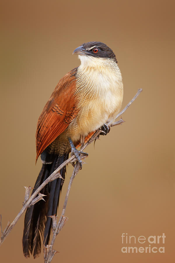 South Photograph - A Burchells Coucal Centropus Burchellii by Johan Swanepoel