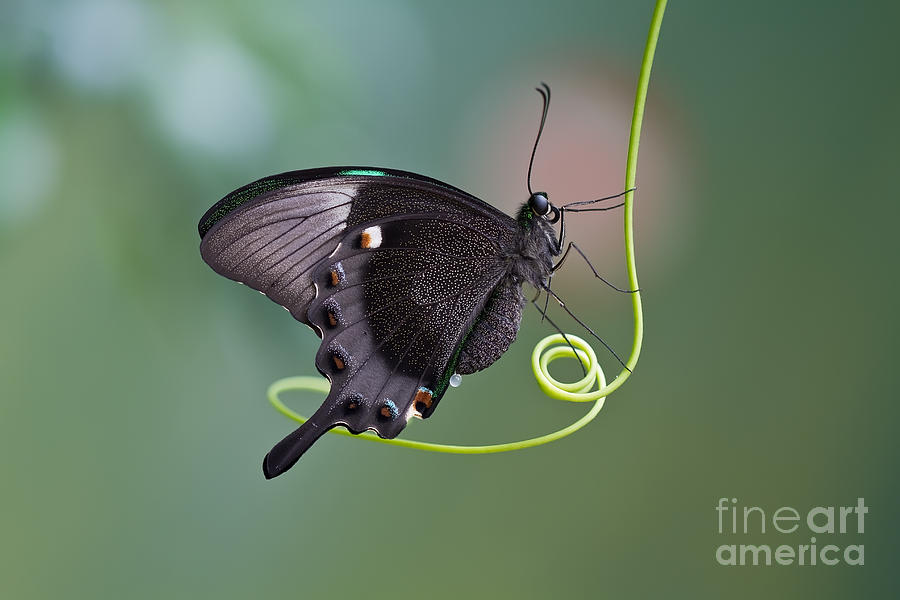 Antenna Photograph - A Butterfly Is A Mainly Day-flying by Karsol