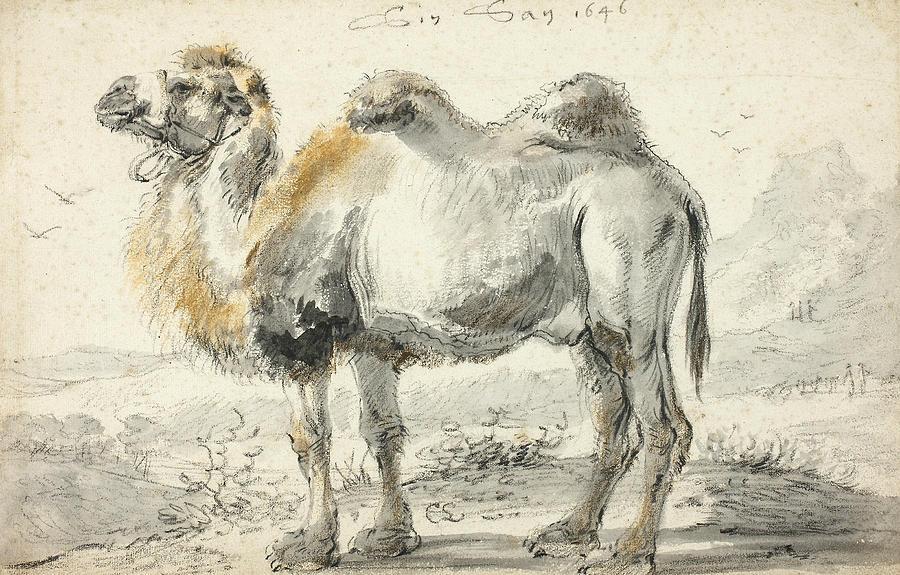 Dutch Painters Drawing - A Camel by Cornelis Saftleven