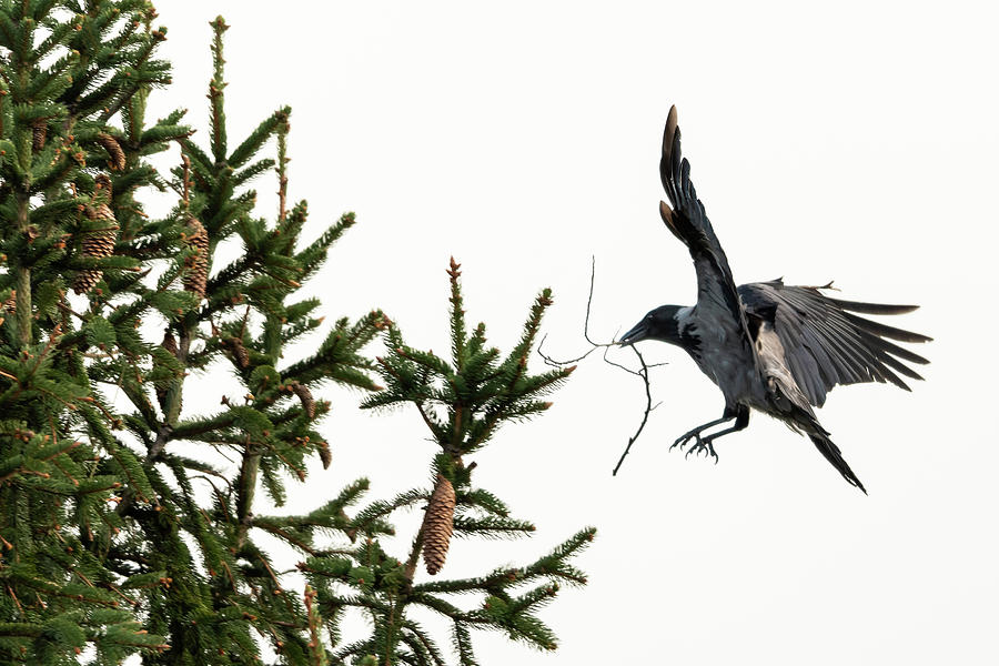 Animalia Photograph - A carrion crow carrying a twig to its nest by Stefan Rotter