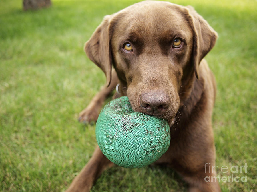 Play Photograph - A Chocolate Labrador Holds A Green Ball by John Kershner