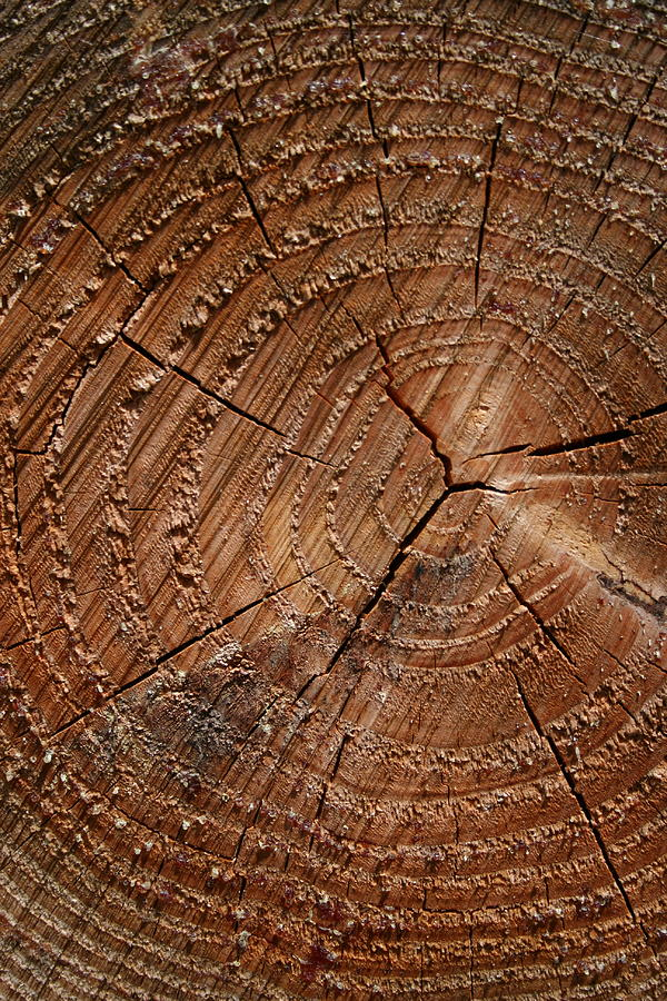 A Close Up Of Tree Rings Photograph by Sabine Davis