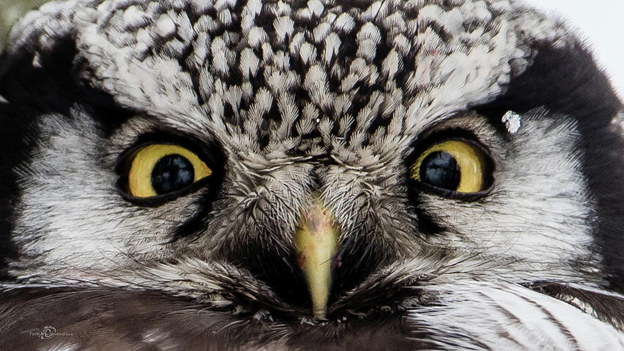 A closeup of The Northern Hawk Owl by Torbjorn Swenelius
