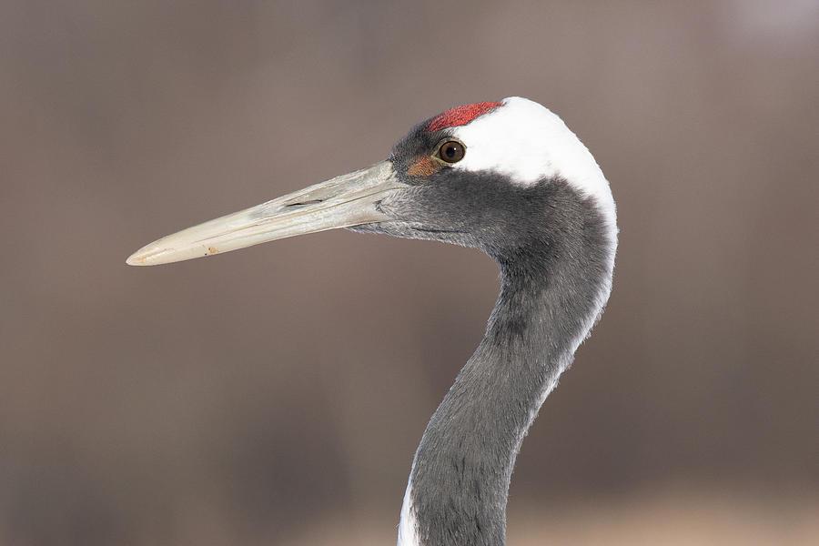 A Closeup Profile of a Red-Crowned Crane - Hokkaido, Japan by Ellie Teramoto