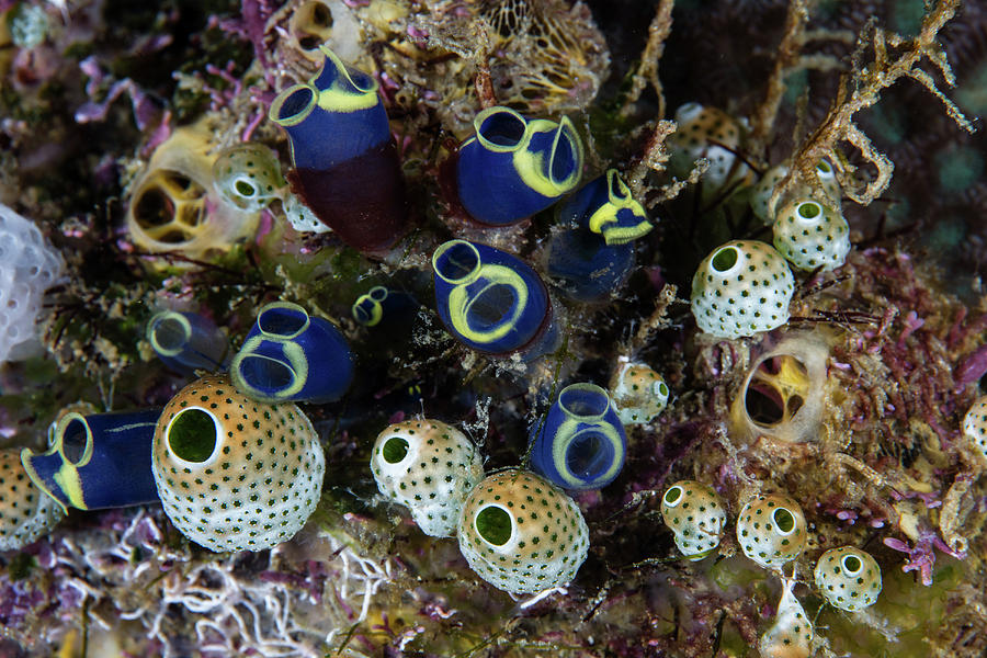 A Cluster Of Colorful Tunicates Grow by Ethan Daniels