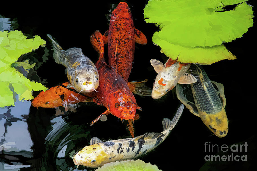 Botanic Gardens Photograph - A Cluster Of Koi by Marilyn Cornwell
