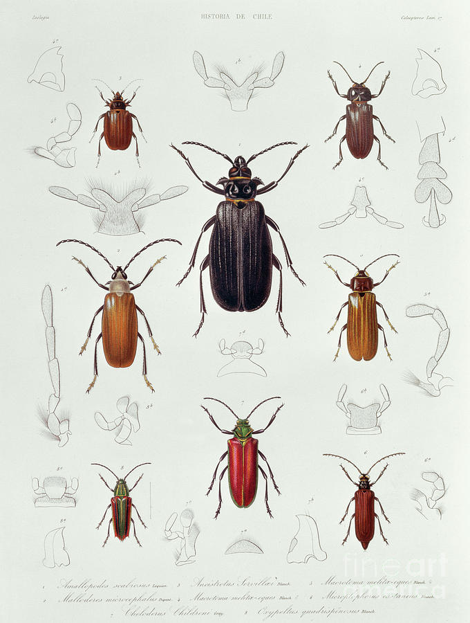 Bug Drawing - A Collection Of Coleoptera Found In Chile, Illustration From Historia De Chile by Lebrun