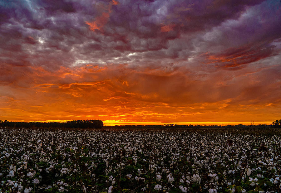 A Cotton Field by John Harding