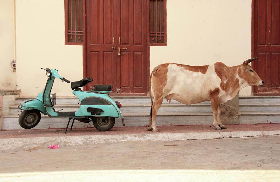 A Cow And A Scooter Turn Back Photograph by Quelques Grammes De Fitness Dans Un Monde De Putes