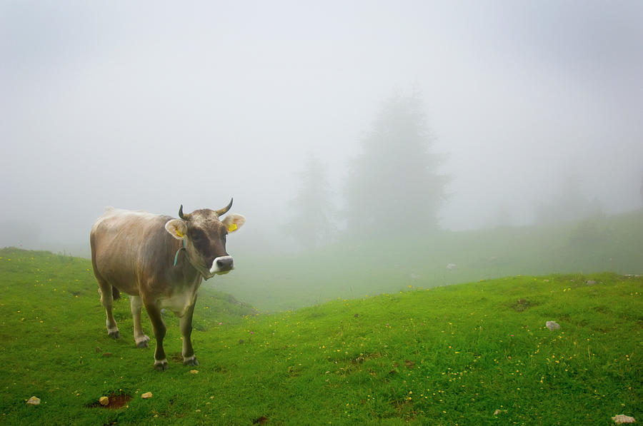 A Cow In A Pasture In The Fog Photograph by Design Pics / Laura Ciapponi