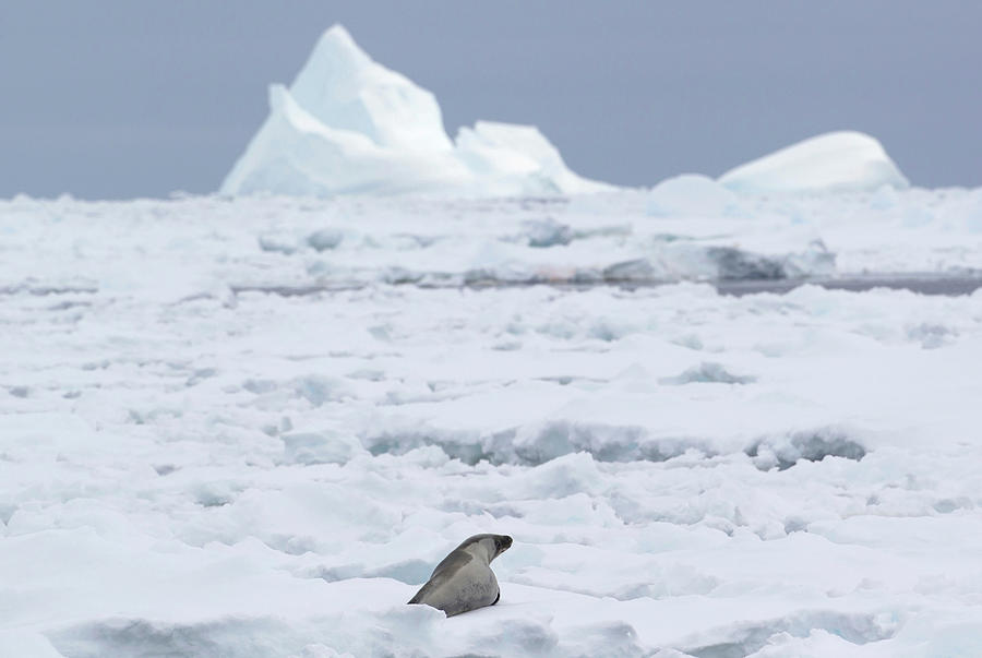 A Crabeater Seal In The Ice Floe In The Photograph by Cultura Rf/brett Phibbs