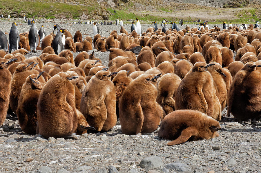 A Crowd Of King Penguins At Their Photograph by Gabrielle Therin-weise