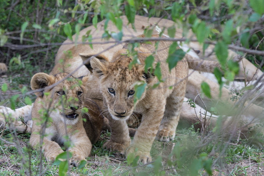 A Cub on the Prowl by Mark Hunter