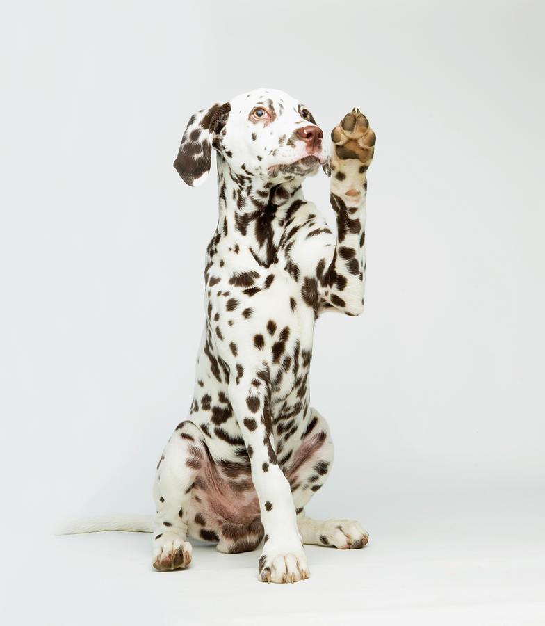 A Dalmatian Dog Raising Its Paw Photograph by Patricia Doyle