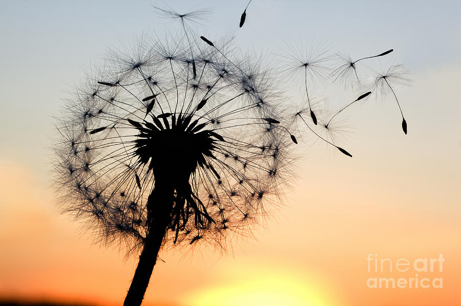 Offspring Photograph - A Dandelion Blowing Seeds In The Wind by Janbussan