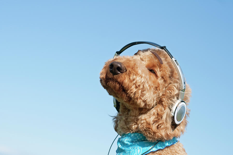 A Dog Listening To Music With Headphone Photograph by Artparadigm